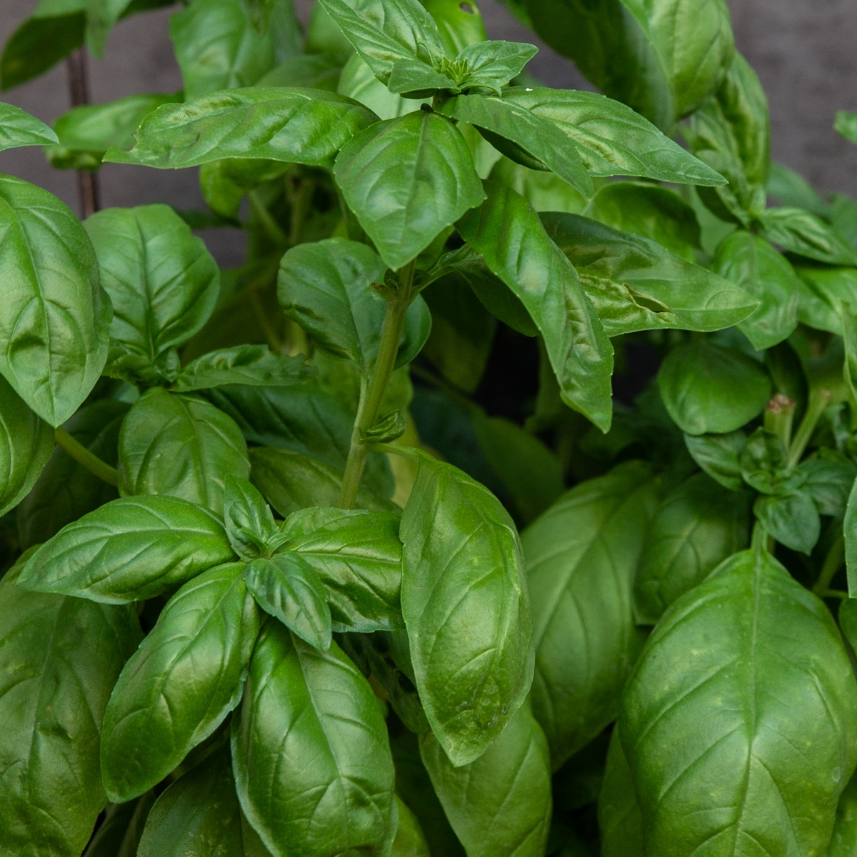 a photo of basil leaves